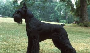 Do Giant Schnauzers Shed by Giant Schnauzer Dog Breed Information
