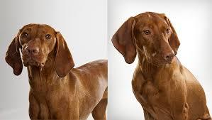 do vizsla dogs shed vizsla breed selector animal planet