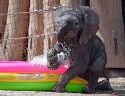 Ayo Plays Around In A Kiddie Wading Pool At Bergzoo Halle Saale