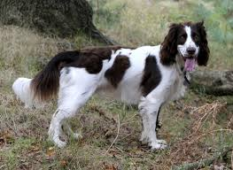 Non Shedding Small Dogs Uk by An Exhaustive List Of Spaniel Breeds With Pictures