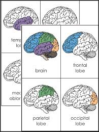 A Variety Of Materials For 3rd 12th Grades Download Club Members Can Brain FactsHuman