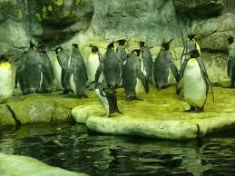 Penguins on display at the Moody Gardens aquarium