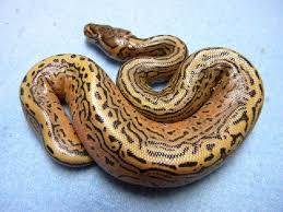 ball python facts photos information morphs breeding care