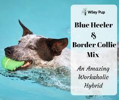 do blue heeler border collies shed blue heeler border collie mix smart workaholics wileypup