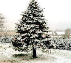 Plantable Christmas Trees For Sale by All Stuff 4 U All Christmas Trees