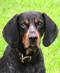 Do Black And Tan Coonhounds Shed by Bluetick Coonhound Breed Information History Health Pictures