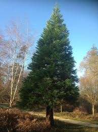 Christmas Trees Types Uk by Christmas Trees The Difference Between Firs Spruces And Pines