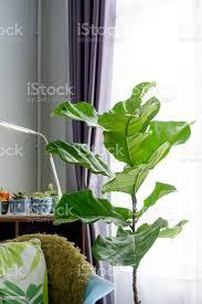 geige blatt feigenbaum im wohnzimmer stockfoto und mehr bilder baum