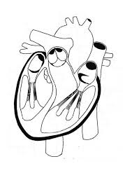 Healthy Heart In Human Anatomy Coloring Pages