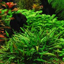 40 best Aquarium plants images on Pinterest