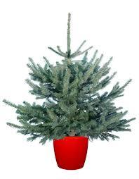 Fraser Christmas Trees Uk by Pot Grown Christmas Trees Christmas Trees Delivered