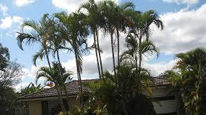 golden palm in pots golden palm