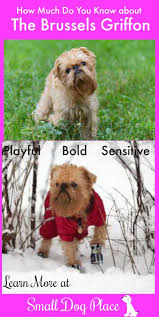 Low Shedding Small Dogs by Brussels Griffon Dog Breed Information