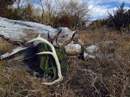 Dogs That Shed The Least Amount by Why You Are Not Finding Sheds This Year Bone Collector