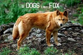 Small Dogs That Dont Shed Uk by 11 Dogs That Look Like A Fox Pethelpful