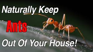 to Get Rid of Ants Fast Naturally Home Reme s
