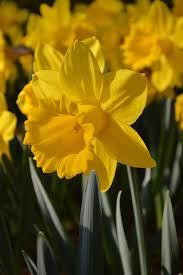 daffodil bulbs master dutchgrown