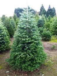 Nordmann Fir Christmas Trees Wholesale by Turkish Fir Palmer U0027s Christmas Trees
