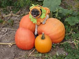 Pumpkin Patch Arthur Il by A Day In The Life Of Pugs The Great Pumpkin Patch