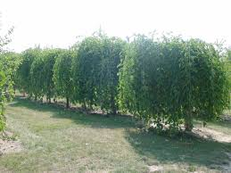 Picture Of A Weeping Mulberry