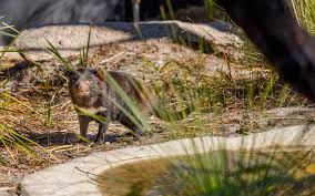 100 Saffire Resort Tasmania Meet N Devils At This Remote Luxury Lodge Travel