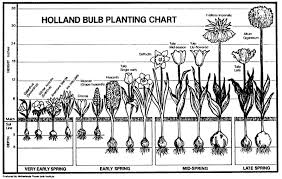 jeffco gardener planting blooming bulbs in the fall by