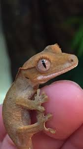 Baby Halloween Crested Gecko by One Of My Leopard Geckos My Pets Pinterest Geckos