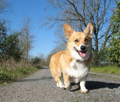 121 best Welsh Corgi Pembroke images on Pinterest