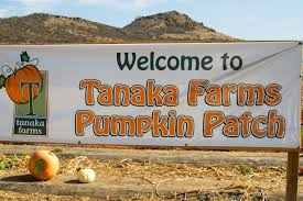 Tanaka Farms Pumpkin Patch by Tales Of The Flowers Tanaka Farms Visiting A Local Pumpkin Patch
