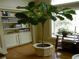 geigenblatt feigenbaum für wohnzimmer fiddle leaf fig tree