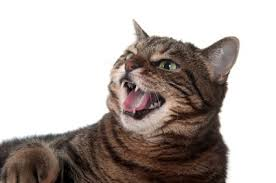 aggressive cat cat aggression common causes of aggression