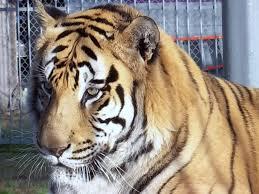 Louisiana Truck Stop Tiger