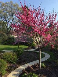 Best 25 Ideas About Redbud Tree