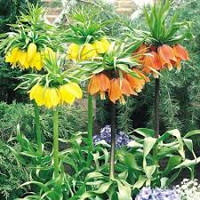 fritillaria lutea crown imperial parkers wholesale