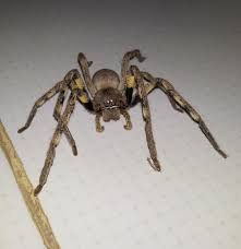 Huntsman Spiders At Spiderzrule - Rain Spiders From South Africa ... Spiders At Spiderzrule The Best Site In World About Spiders Barn Funnel Weaver Spider North American Insects Bug Eric Thinlegged Wolf Genus Pardosa Grass How To Tell If A Spider Is Not Brown Recluse Spiderbytes