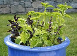 comment cultiver le basilic en jardinière