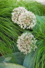 allium bulbs for sale buy bulk allium flower bulbs there s