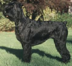 giant schnauzers what s good about em what s bad about em