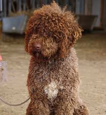 Portuguese Water Dog Shedding Problems by Brown Portuguese Water Dog Images Puppies Pinterest