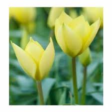 tulip flower bulbs not seed flower symbolizes green 2