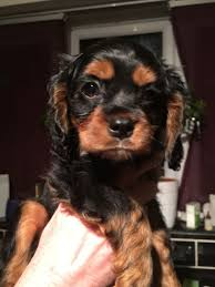 Cavapoos Do They Shed by Cavapoo Smooth Coat 3 4 Cava 1 4 Poo Luton Bedfordshire