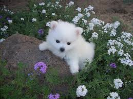 what s white fluffy has 3 black spots and is the best breed in