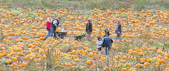 Swan Farms Snohomish Pumpkin Patch by Seattle Area Pumpkin Patches Corn Mazes Hayrides And More Find