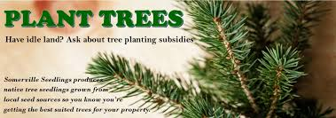 Christmas Tree Saplings For Sale Uk by Home Web Site Name