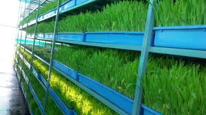 Kinds Of Christmas Trees In India by Hydroponic Grass For Goats Junnar Goat Farm Pune Maharashtra
