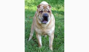 Do Mini Shar Peis Shed by Chinese Shar Pei Dog Breed Information