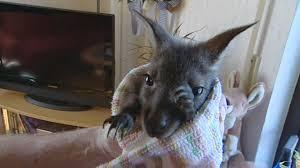 wildes wohnzimmer ersatzvater eines verwaisten känguru babys