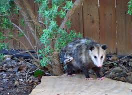 Mamma Possum --with Clinging Baby | Possums | Pinterest | Animal All About Opossums Wildlife Rescue And Rehabilitation Easy Ways To Get Rid Of Possums Wikihow Animals Articles Gardening Know How 4 Deter From Your Garden Possum Hashtag On Twitter Removal Living In Sydney Opossum Removal Services South Florida Nebraska Rehab Inc Help Nuisance Repel Gel Barrier Sealant For Squirrels And Raccoons To Of Terminix