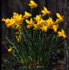 narcissus jetfire 12 to 14 inches early to midseason