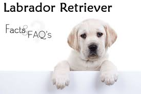 Best House Dogs That Dont Shed by Labrador Retriever Facts And Faqs